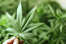 Греция дает зеленый свет легализации марихуаны в медицинских целях