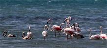 Цвет весны: на Керкиру прилетели сотни фламинго (фото)