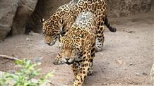 Ягуары в афинском зоопарке сбежали: охрана открыла огонь