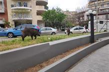 Кабаны разгуливают по Салоникам (фото)